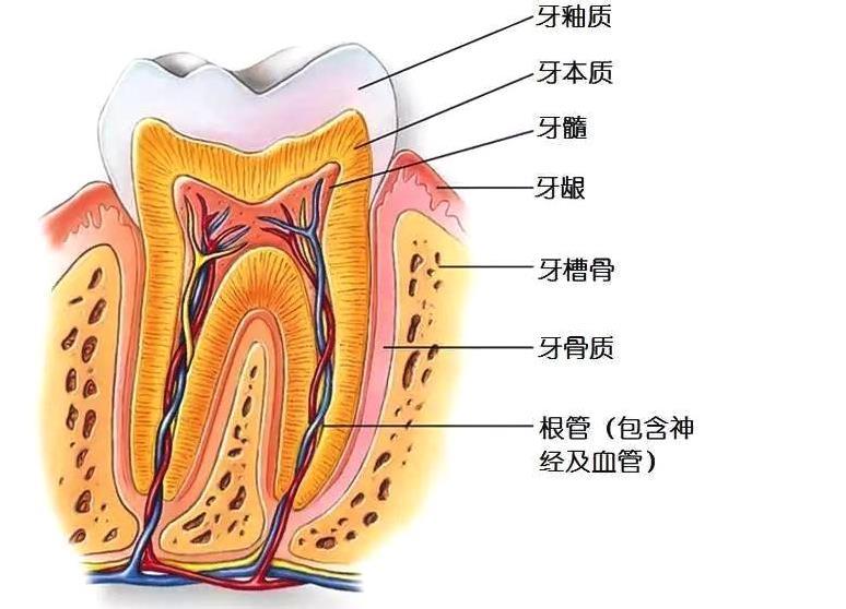 洁牙擦对牙齿牙釉是否有伤害 牙齿结构分析